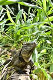 Cuban Iguana in the forest. Royalty Free Stock Photos