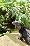 Cuban Iguana in the forest. Royalty Free Stock Image