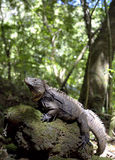 Cuban Iguana in the forest. Stock Photography