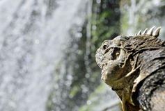 Cuban  Iguana in the forest  beside a water fall. Royalty Free Stock Images