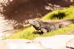 Cuban iguana known as Cyclura nubila nubile. Is found in dry coastal habitat in Cuba Stock Photos