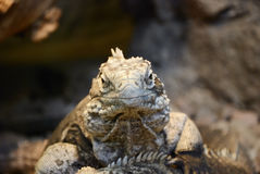 Cuban Iguana - portrait Stock Photos