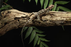 Cuban Knight Anole – Anolis equestris Royalty Free Stock Images