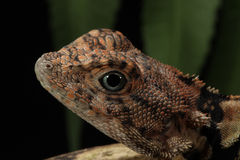 Cuban Knight Anole – Anolis equestris Stock Photos