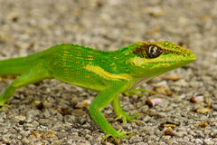 Cuban Knight Anole (Anolis equestris) Royalty Free Stock Photos