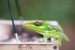 Cuban Knight Anole  Anolis equestris on birdfeeder. This lizard is an invasive species in south Florida Stock Photos