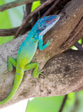 Cuban Knight Anole or Cuban Chameleon Royalty Free Stock Images