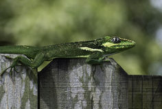 Cuban Knight Anole on Fence Royalty Free Stock Image