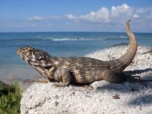 Cuban Lizard Royalty Free Stock Photo