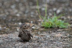 Cuban Nightjar (Caprimulgus cubanensis) Royalty Free Stock Photo