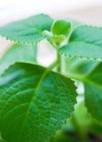 Cuban oregano plant Stock Photo
