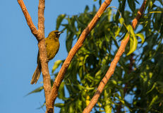 Cuban Oriole Royalty Free Stock Photos