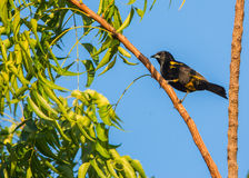 Cuban Oriole. A male Cuban Oriole (Icterus melanopsis) perches on a tree royalty free stock image