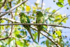 Cuban Parakeet , Aratinga euops. An endemic species of Cuba Stock Photos