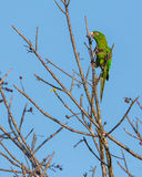 Cuban Parakeet feeding on wild fruits Stock Image