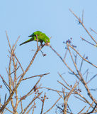 Cuban Parakeet feeding on wild fruits Stock Photo