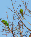 Cuban Parakeet feeding on wild fruits Stock Images