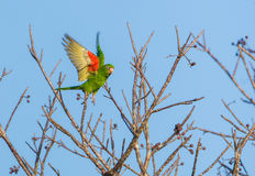 Cuban Parakeet in flight Stock Photography
