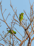 Cuban Parakeet playing on a tree Royalty Free Stock Photo