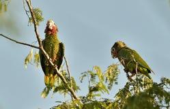 Cuban Parrot (Amazona leucocephala leucocephala), Royalty Free Stock Images
