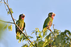 Cuban Parrot (Amazona leucocephala leucocephala), Stock Images