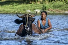 Cuban peasant old lady uses a cow to help herself on crossing the risen Duaba River royalty free stock image