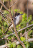 Cuban Peewee perched on a branch Stock Photo
