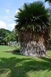 Cuban petticoat palm Stock Image