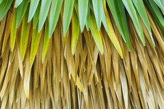 Cuban petticoat palm tree leaves Royalty Free Stock Photos