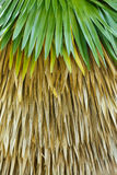 Cuban petticoat palm tree leaves Stock Photography