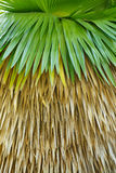 Cuban petticoat palm tree leaves Stock Images