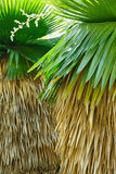 Cuban petticoat palm tree leaves and flower Royalty Free Stock Photography