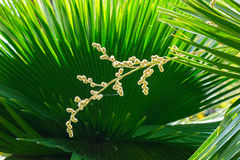 Cuban petticoat palm tree leaves and flower Stock Photos