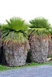 Cuban Petticoat Plam tree Royalty Free Stock Photos