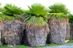 Cuban Petticoat Plam tree Stock Images