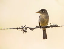 Cuban Pewee on a wire Royalty Free Stock Photography