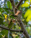 Cuban Pygmy Owl on a branch Stock Image