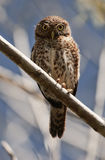 Cuban Pygmy-owl. Glaucidium siju Stock Photography