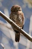 Cuban Pygmy-owl.  Glaucidium siju Stock Photography