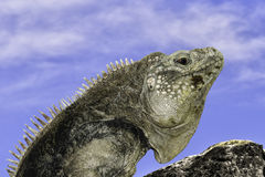 The Cuban rock iguana Royalty Free Stock Photo
