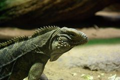 Cuban Rock Iguana (Cyclura Nubila) Stock Photo