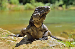 Cuban Rock Iguana (Cyclura Nubila) Royalty Free Stock Photo