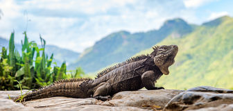Cuban Rock Iguana (Cyclura Nubila) Royalty Free Stock Photos