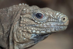 Cuban rock iguana Cyclura nubila Stock Photo