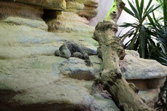 Cuban rock iguana. Cyclura nubila, also known as the Cuban ground iguana Royalty Free Stock Images