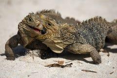 Cuban rock iguana. Cyclura nubila, also known as the Cuban ground iguana or Cuban iguana fighting Stock Image