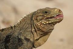 Cuban rock iguana. The Cuban rock iguana Cyclura nubila, also known as the Cuban ground iguana or Cuban iguana, portrait Stock Images