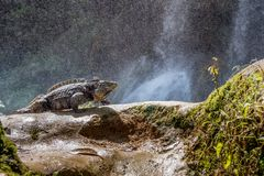 Cuban Rock Iguana (Cyclura Nubila) In The Forest Beside A Water Fall.