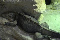 Cuban rock iguana Cyclura nubila. Lying on the rock. In Zagreb Zoo, Croatia Stock Photo