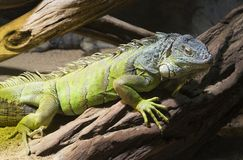 Cuban rock iguana Royalty Free Stock Images